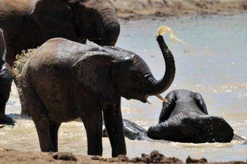 Photo taken on February 9, 2013 shows elephants in the Addo Elephants Park near Port Elizabeth in South Africa