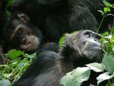 Social networks could help prevent disease outbreaks in endangered chimpanzees