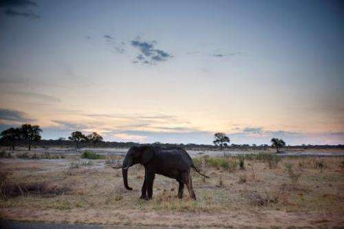 An African elephant is pictured on November 19, 2012, in Hwange National Park in Zimbabwe