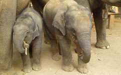 Climate change endangers elephants