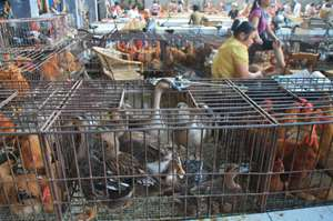 Researchers study dynamics of workers at poultry farms and markets to track bird flu