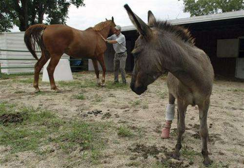3-legged donkey Emma: A lesson for veterinarians