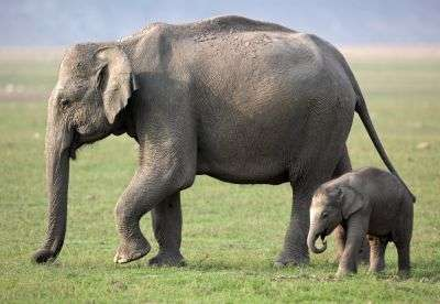 Scientists make progress in fight against virus killing captive elephants