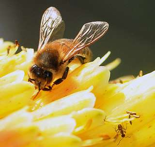 Evolutionary question answered: Ants more closely related to bees than to most wasps