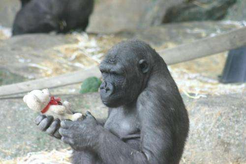 New evidence that orangutans and gorillas can match images based on biological categories