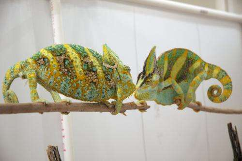ASU researchers discover chameleons use colorful language to communicate