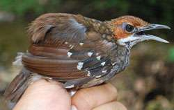 Researchers discover new species of 'ventriloquist' bird in Philippines