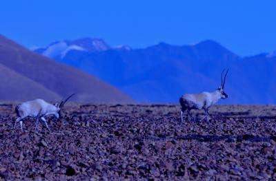 New study reveals dangers to biological diversity from global cashmere garment industry