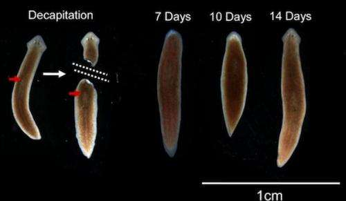 Researchers discover flat worms retain memories even after decapitation