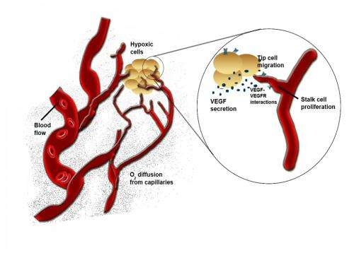 Researchers show how blood vessels regroup after stroke
