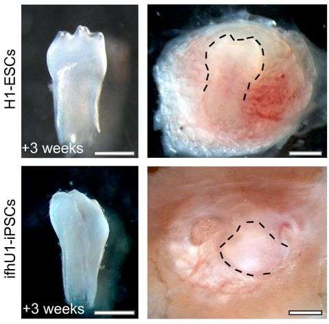 Take urine, add mouse cells and grow a new tooth