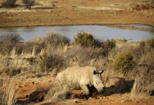 A black rhinoceros on August 3, 2012 at the Bona Bona Game Reseve, 200 kms southeast of Johannesburg