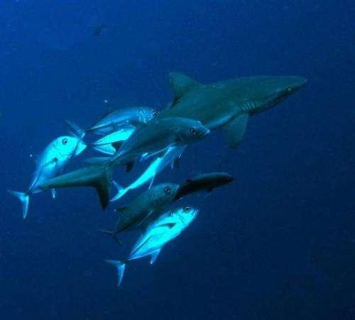 A Blue Corner shark with jack escort, seen off Palau, on June 20, 2009