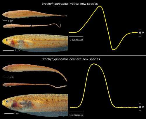AC or DC? 2 newly described electric fish from the Amazon are wired differently