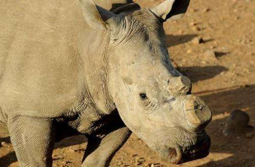 A dehorned rhinoceros at the Bona Bona Game Reseve, southeast of Johannesburg on August 3, 2012
