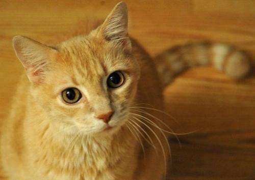 A domestic cat sits in October 17, 2010 in Manassas, Virginia