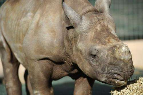 A four-month-old baby rhino pictured at the Entabeni Safari Conservancy in Limpopo on July 31, 2012