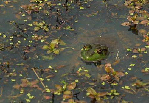 A frog peeks up from the water in a pond in Prince William County, Virginia on April 5, 2012