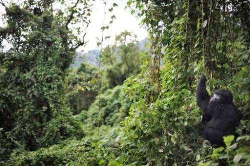 A gorilla picks foliage to eat on the slopes of Mount Mikeno in the Virunga National Park on November 28, 2008
