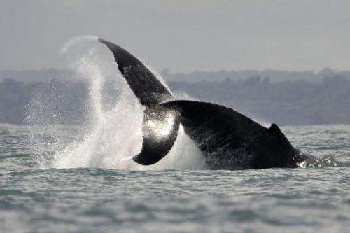 A Humpback whale jumps in the waters of the Pacific Oceanon August 21, 2010