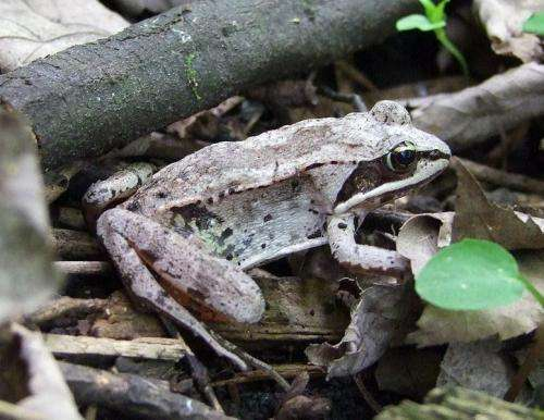Alaskan wood frogs stock up on solutes to survive