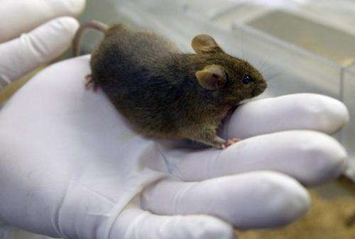 A mouse at a research facility in Illkirch-Graffenstaden, France on March 12, 2003