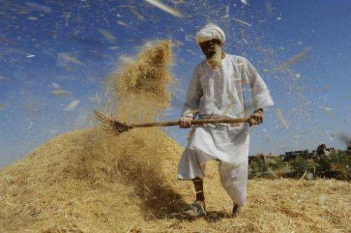 An Afghan farmer winnows wheat in a field on the outskirts of Herat on June 22, 2013
