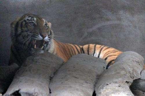 An injured royal Bengal tiger is seen inside an enclosure at Kashara in Chitwan National Park on December 27, 2011