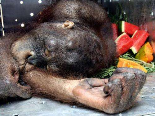 An orangutan lies inside his cage in Jakarta on 15 August 2006, before being transferred to Borneo
