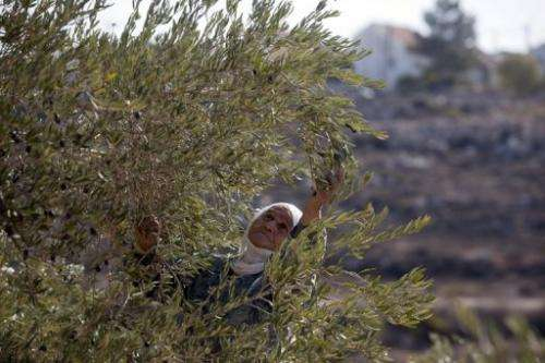 A Palestinian woman from Qaryut village harvests her olive tree located in West Bank on October 28, 2009