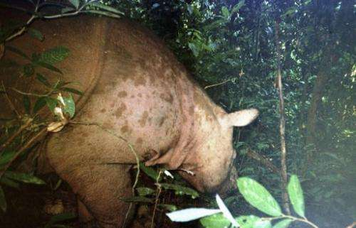 A photo taken in 2006 shows the critically endangered Sumatran rhino in Sabah, Malaysia