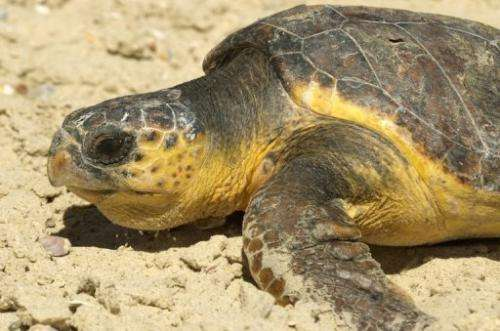 A sea turtle is pictured in the coastal town of Palmachim, south of Tel Aviv, on June 7, 2012