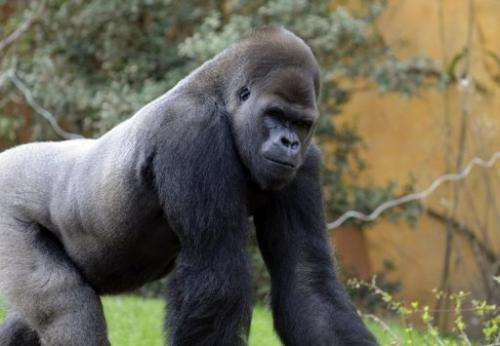 A silverback gorilla male, walks in its enclosure at the Amneville zoo, eastern France on April 04, 2012