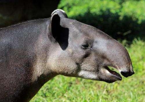 A Tapir eats grass at the zoo in Masaya, Nicaragua on September 25, 2013