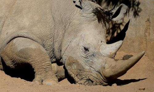A white rhino is pictured on July 25, 2013 at the Johannesburg Zoo in South Africa