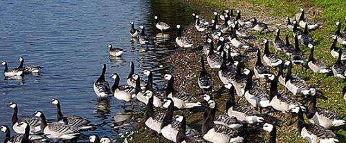 Barnacle goose population continues to grow – autumn population tripled in the eastern Gulf of Finland