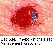 Bedbugs: easy to attract, hard to eliminate