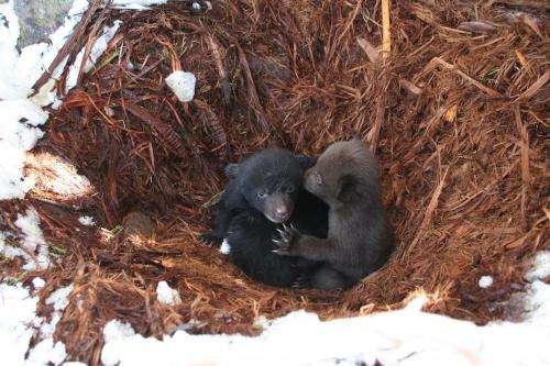 Black bears: Here, gone, and back again