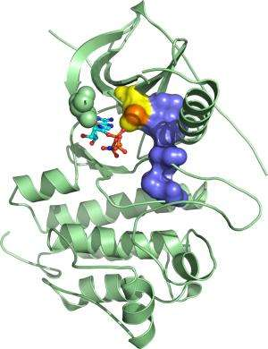 By determining structural effects of tumor-causing mutations, scientists obtain valuable information for drug discovery