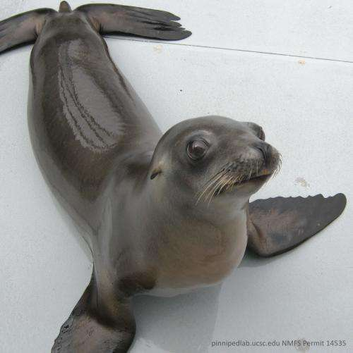 By keeping the beat, sea lion sheds new light on animals' movements to sound