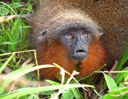 Monkey that purrs like a cat is among new species discovered in Amazon rainforest