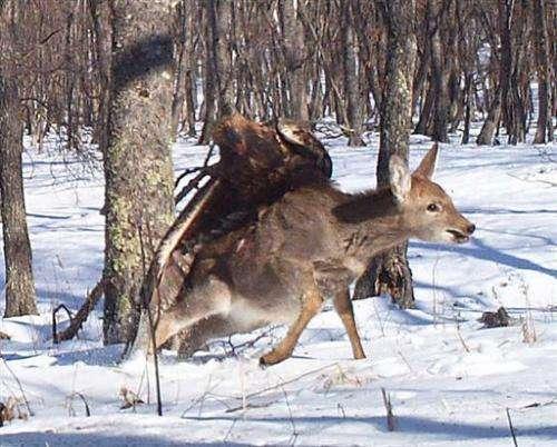 Cameras capture eagle killing deer in Russia