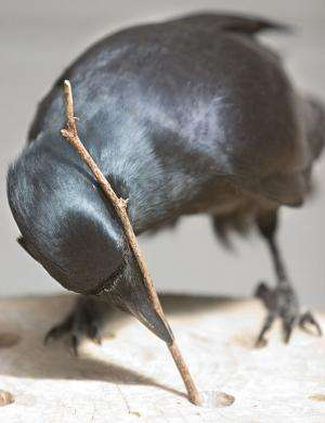 Canny crows know their tools