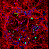 A step towards repairing the central nervous system