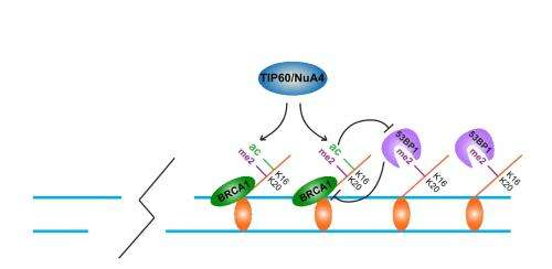 Changes to DNA on-off switches affect cells' ability to repair breaks, respond to chemotherapy