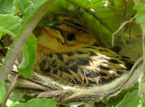 Cheats of the bird world -- Cuckoo finches fool host parents