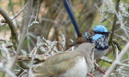 Chickless birds guard nests of relatives