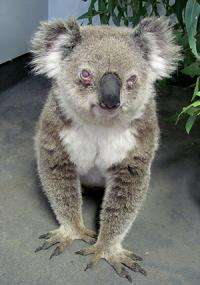 Chlamydia threat to untouched koala population