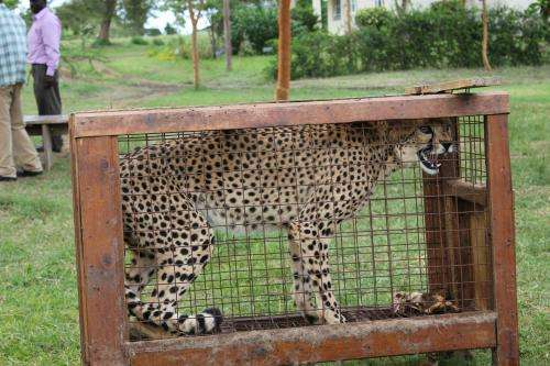 Conservationists to CITES: Stop trade in wild cheetahs