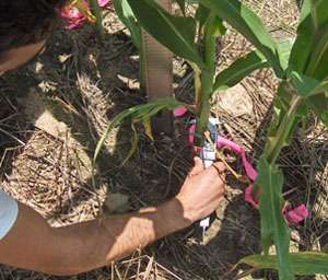 Corn yield prediction model uses simple measurements at a specific growth stage